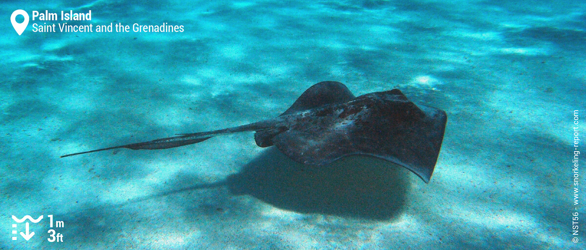 Stingray in Palm Island