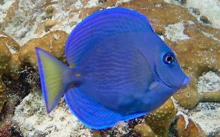 Surgeonfish & unicornfish