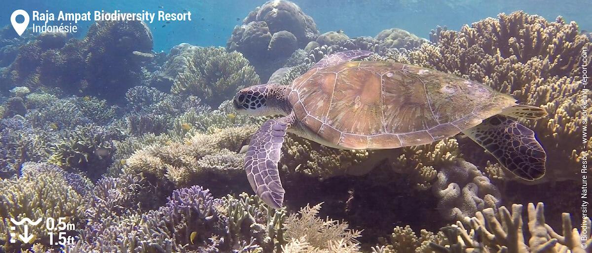 Tortue verte au Raja Ampat Biodiversity Resort