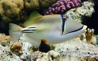 Triggerfish & filefish