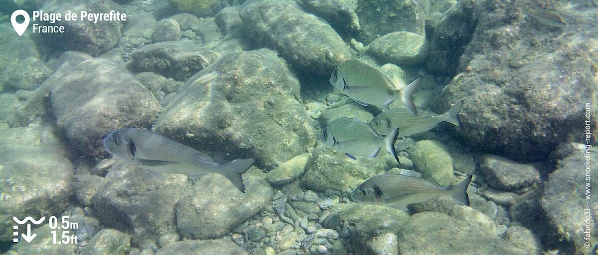 Dorades et sars dans la réserve naturelle de Banyuls-Cerbère