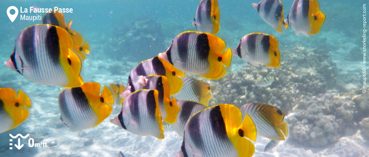 Doublesaddle butterflyfish at Maupiti