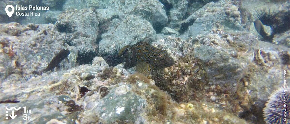 Giant hawkfish at Islas Pelonas