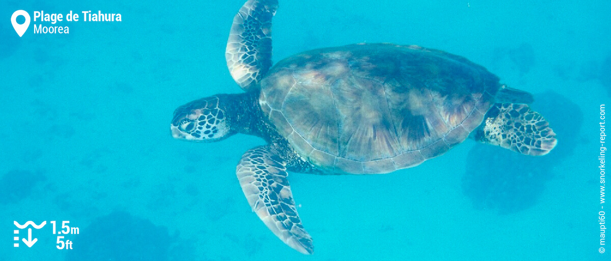 Green sea turtle in Tiahura Beach channel