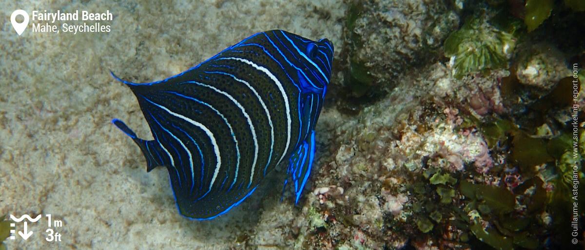 Juvenile semicircle angelfish at Fairyland Beach