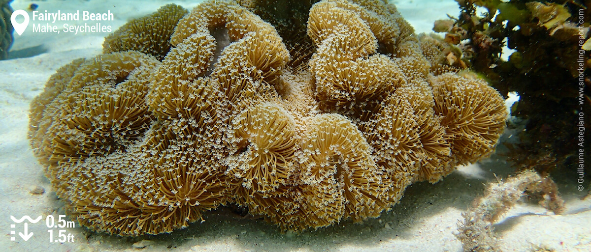 Leather coral at Fairyland Beach