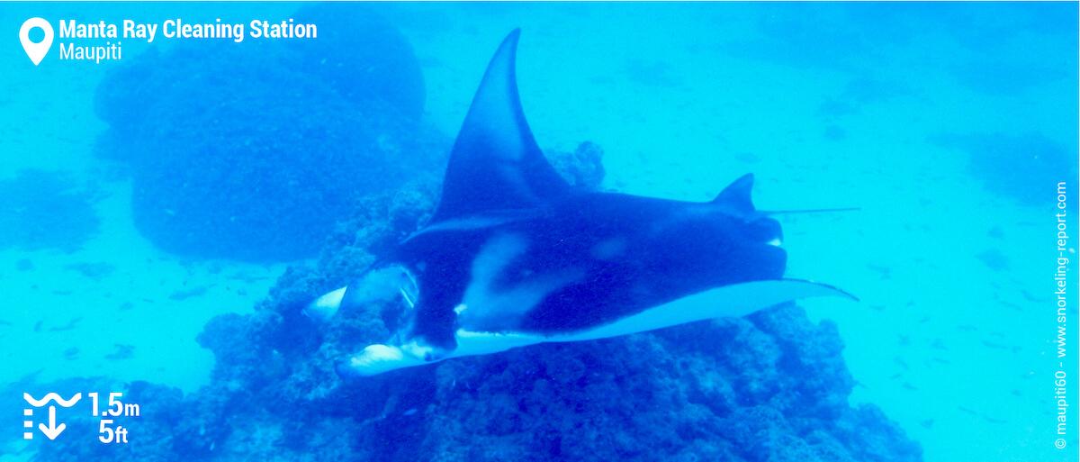 Manta ray at Maupiti's cleaning station