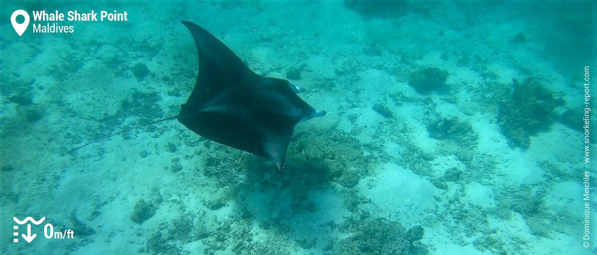 Snorkeling with manta ray in South Ari Atoll