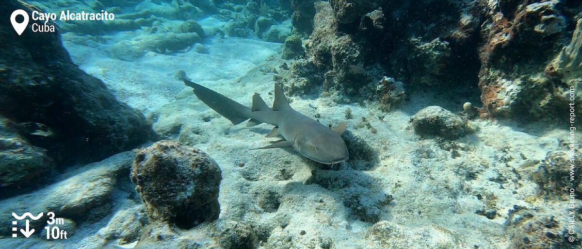 Nurse shark at Cayo Alcatracito