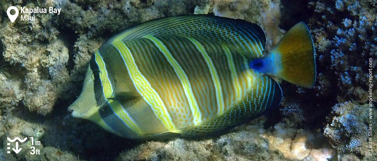 Pacific sailfin tang in Kapalua Bay