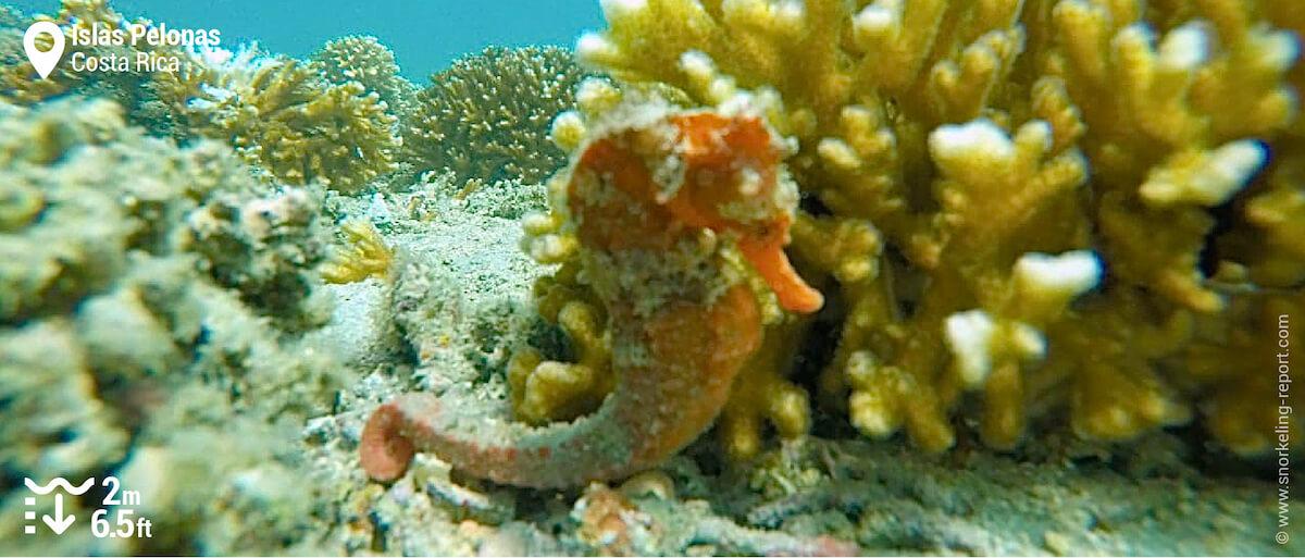 Pacific seahorse at Islas Pelonas