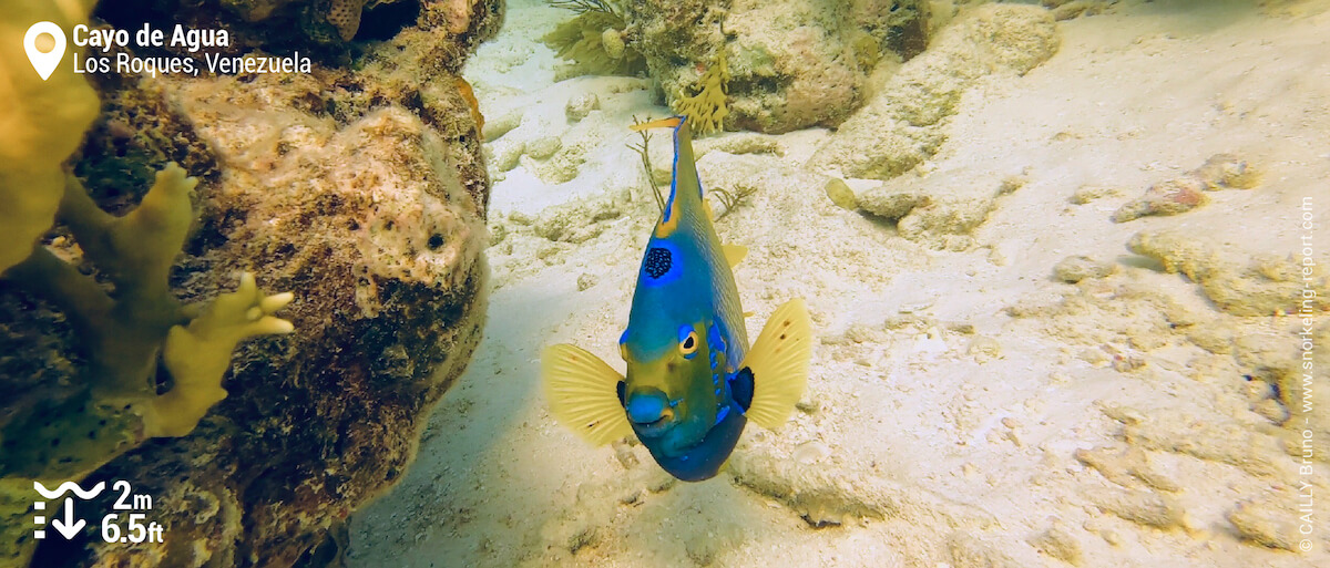 Queen angelfish at Cayo de Agua