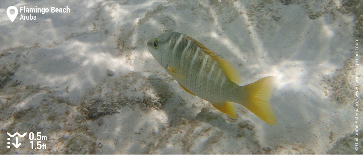 Schoolmaster snapper at Flamingo Beach