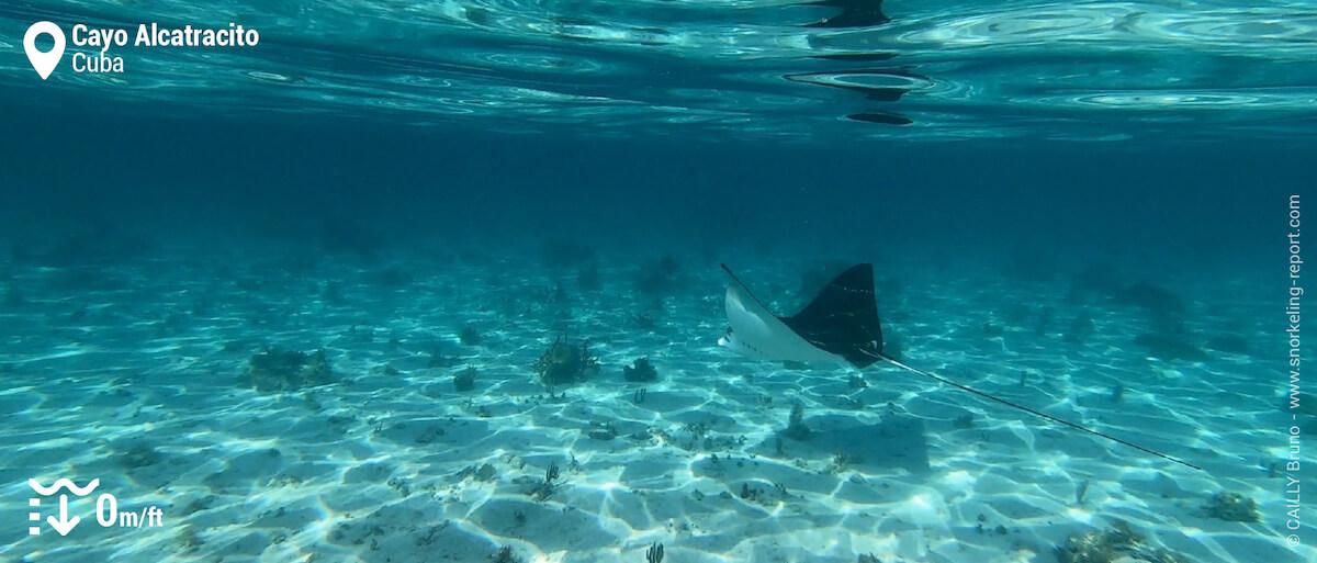 Spotted eagle ray at Cayo Alcatracito