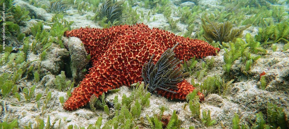 Cushion starfish in Dominican Republic