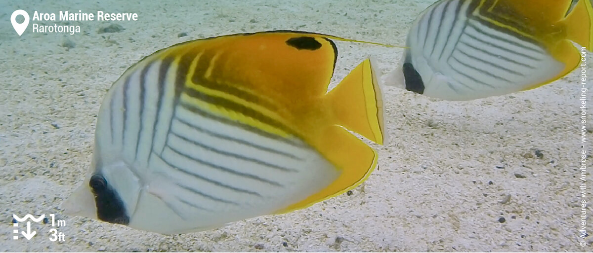 Threadfin butterflyfish at Aroa Beach
