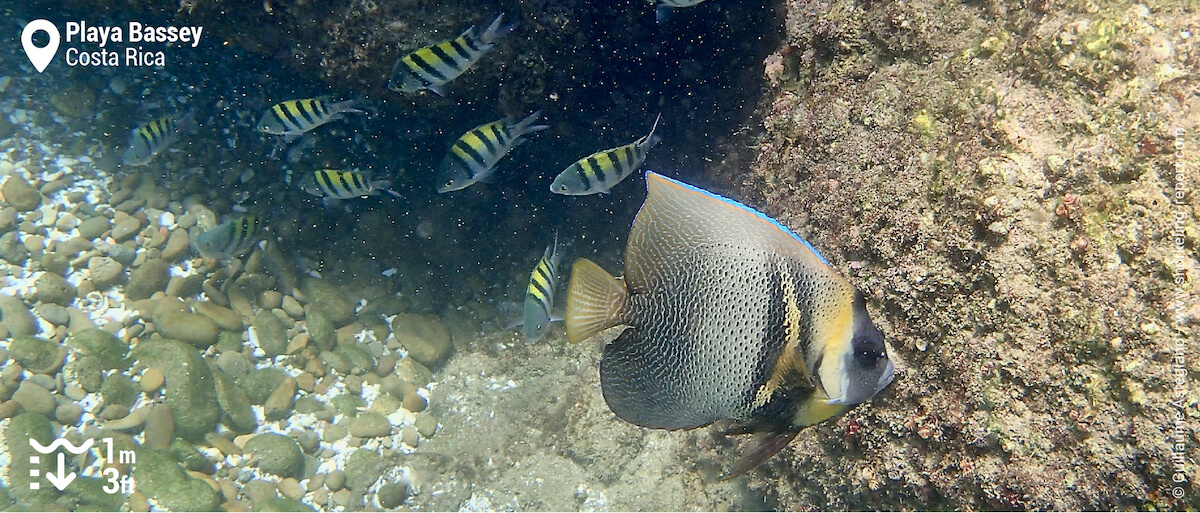 Cortez angelfish and sergeant majors at Playa Bassey