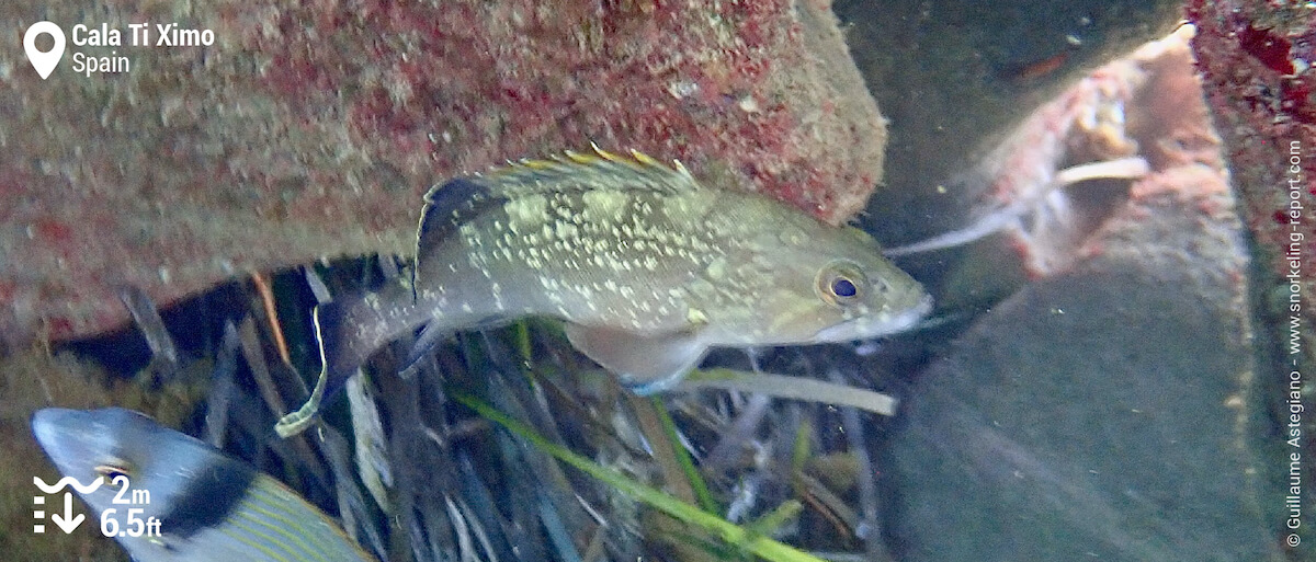 Dusky grouper at Cala Ti Ximo, Benidorm