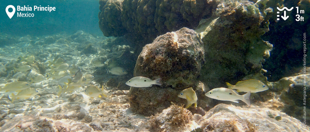 Grunts and snappers at at Bahia Principe Akumal reef