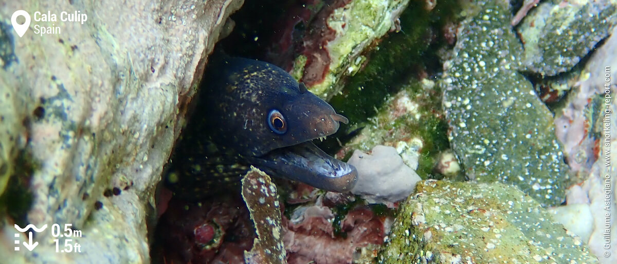 Mediterranean moray at Cala Culip