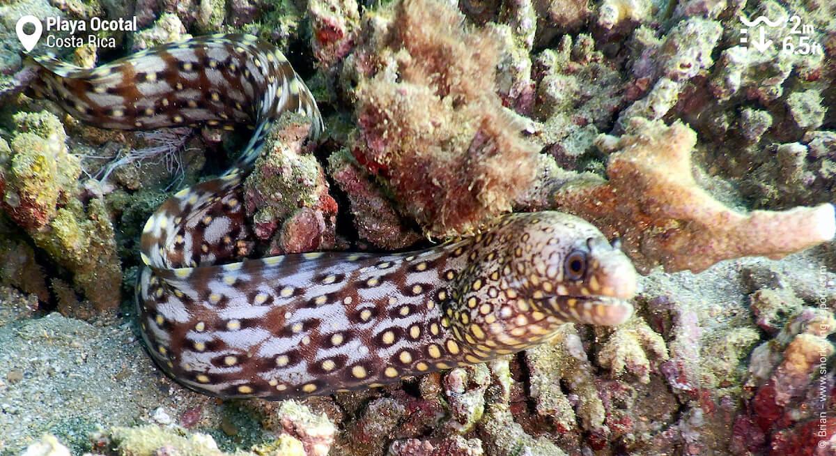 Ornate moray in Playa Ocotal