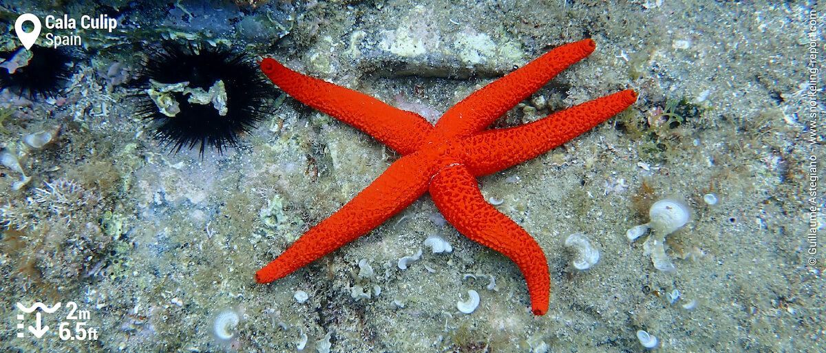 Red starfish at Cala Culip