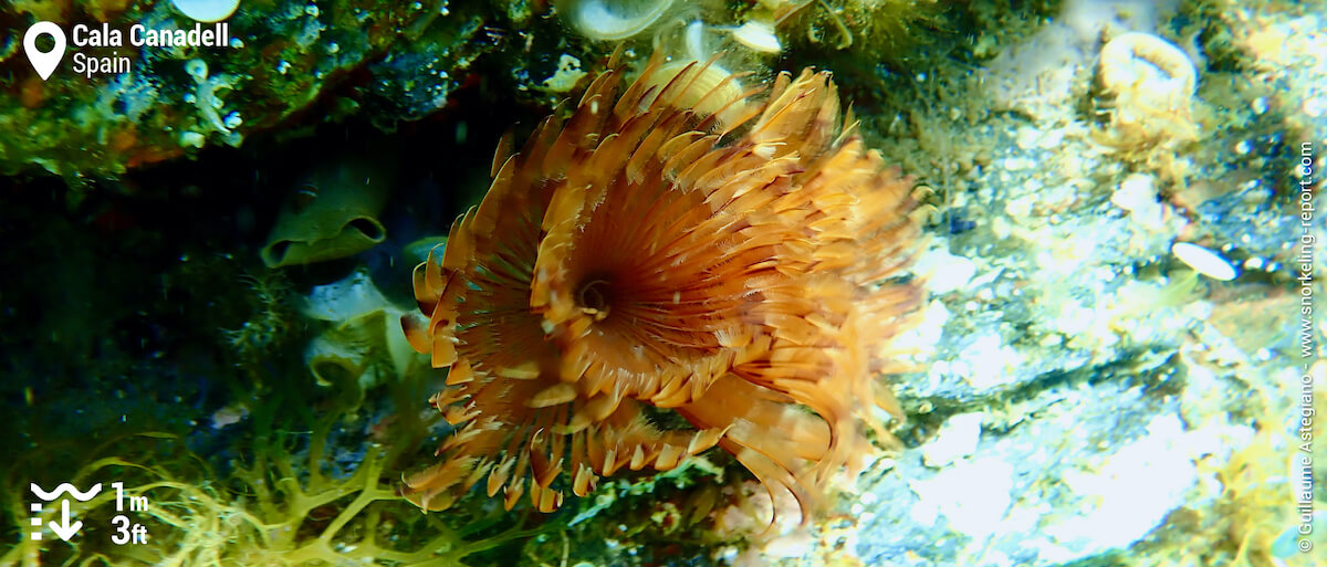 Fanworm at Cala Canadell
