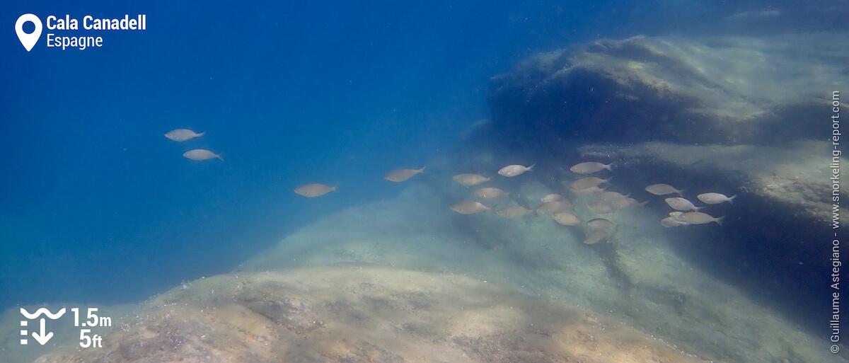 Banc de saupes de Méditerranée à Cala Canadell
