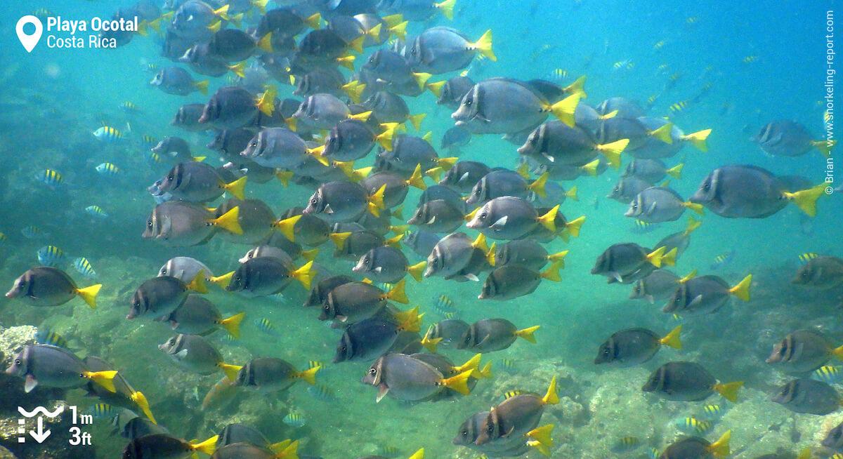 School of razor surgeonfish