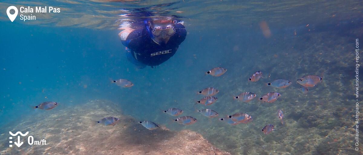 Snorkeler and seabram at Cala Mal Pas, Benidorm