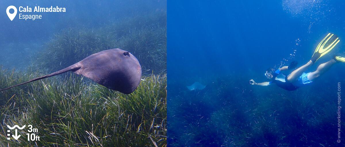 Snorkeling avec raie pastenague à Cala Almadabra, Benidorm