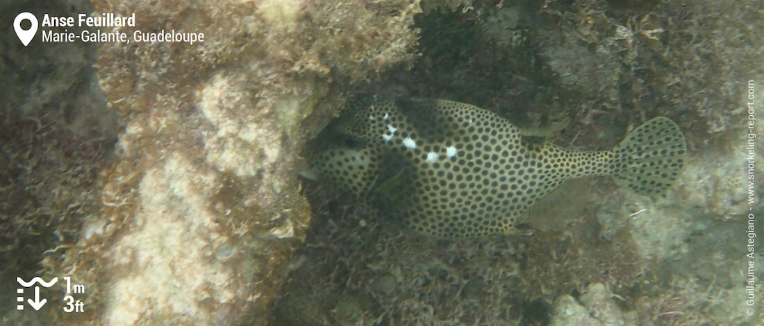 Spotted trunkfish at Anse Feuillard