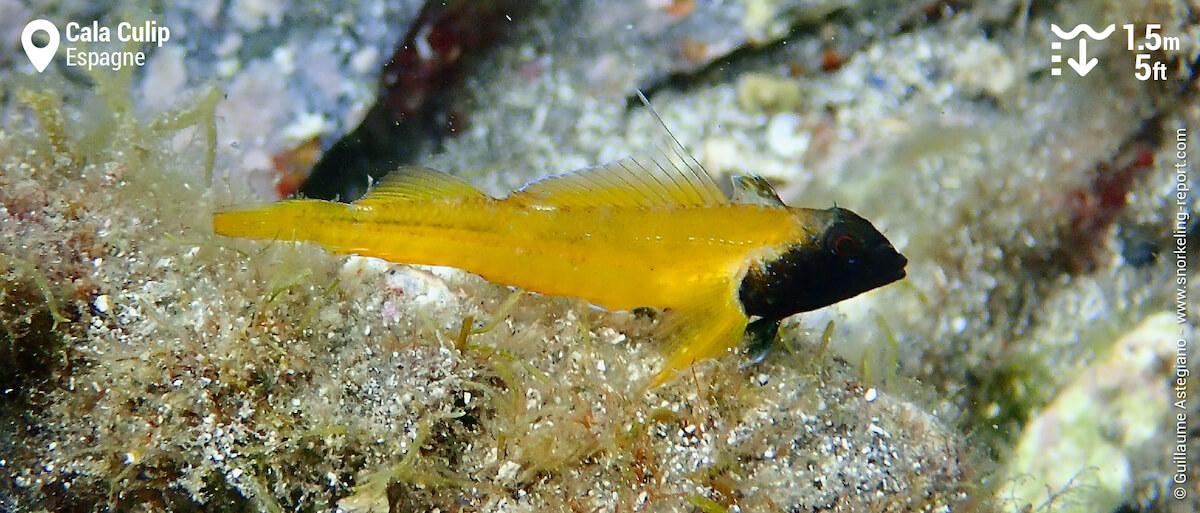 Tripterygion jaune à Cala Culip