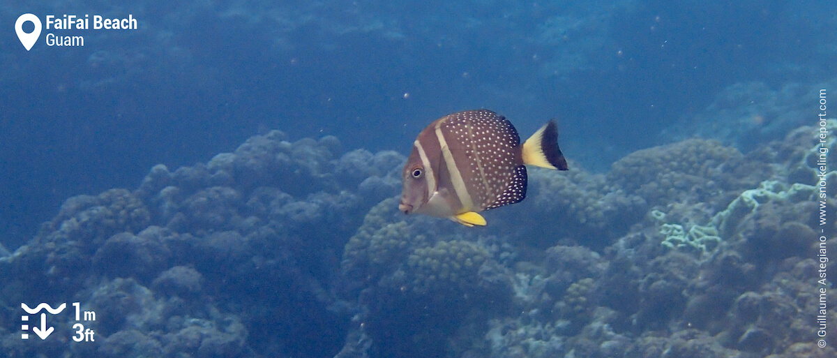 Whitespotted surgeonfish at FaiFai Beach