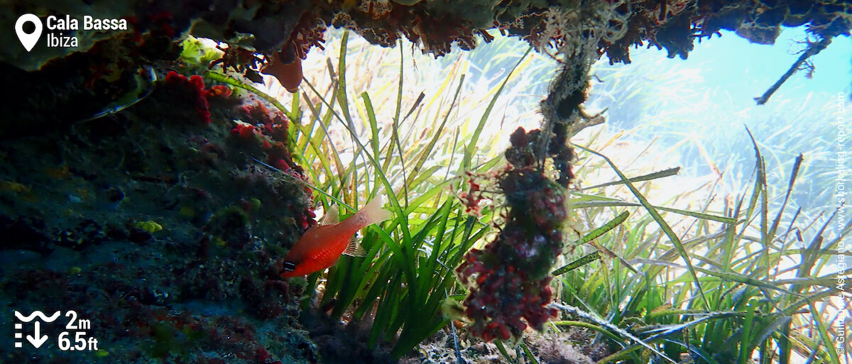 Cardinalfish in a cave in Cala Bassa