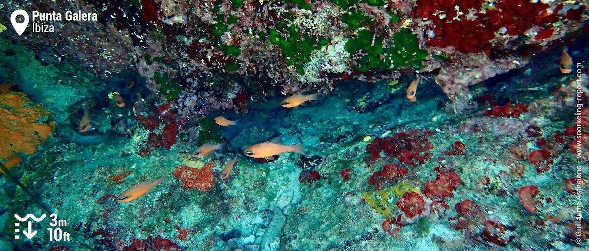 Cardinalfish in an underwater cave at Punta Galera