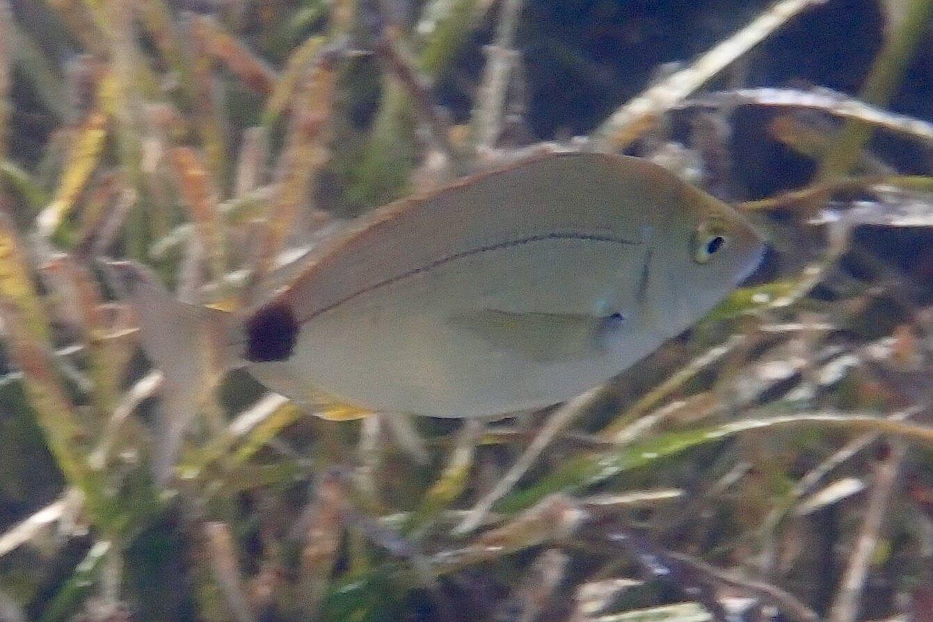 Diplodus annularis