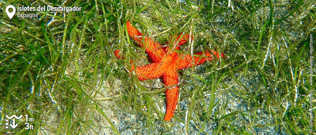 Etoile de mer rouge dans un herbier de cymodocée