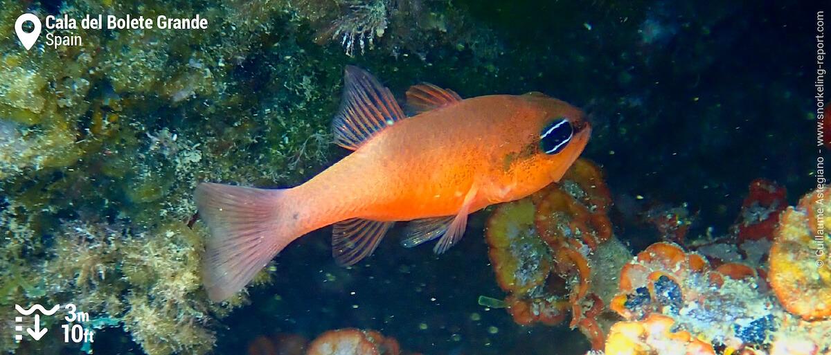 Mediterranean cardinalfish at Cala del Bolete Grande