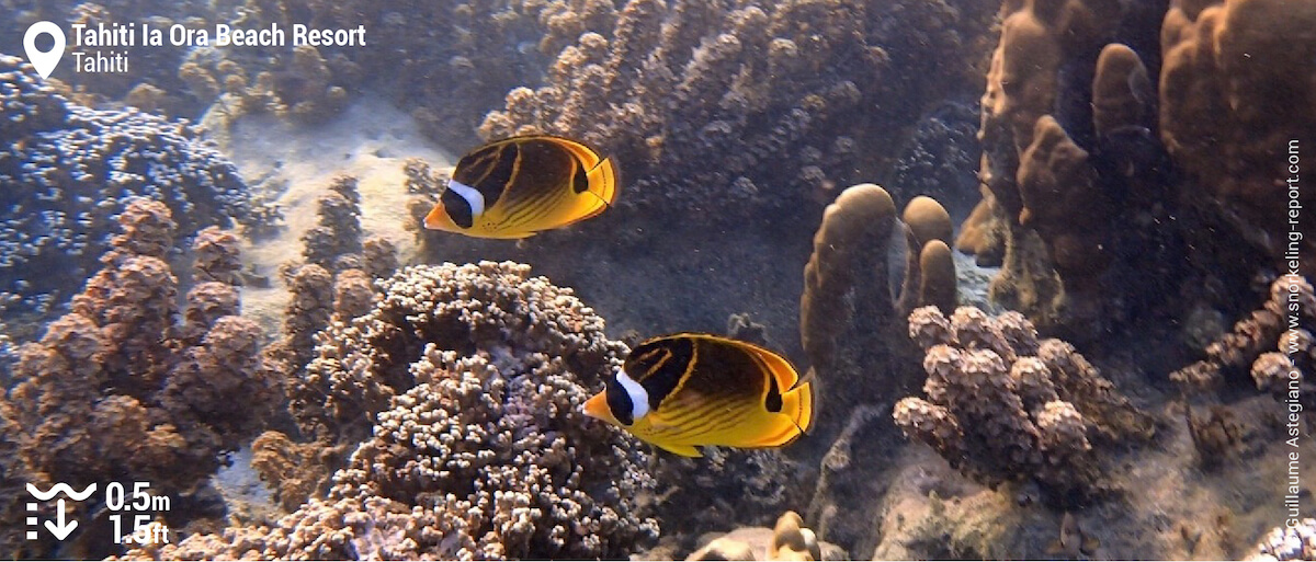 Poissons-papillons ratons-laveurs au Tahiti Ia Ora Beach Resort