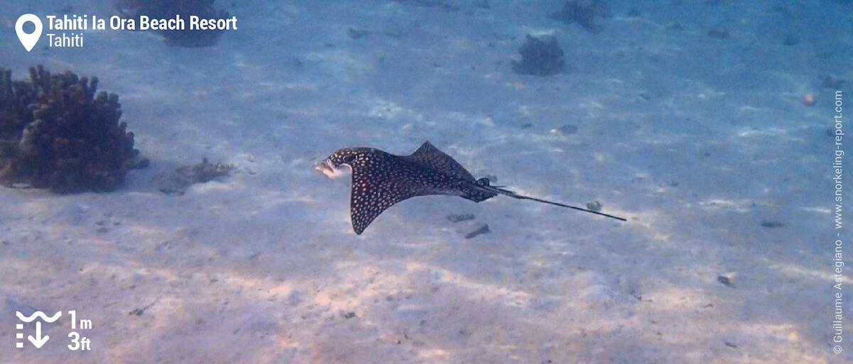 Raie léopard au Tahiti Ia Ora Beach Resort