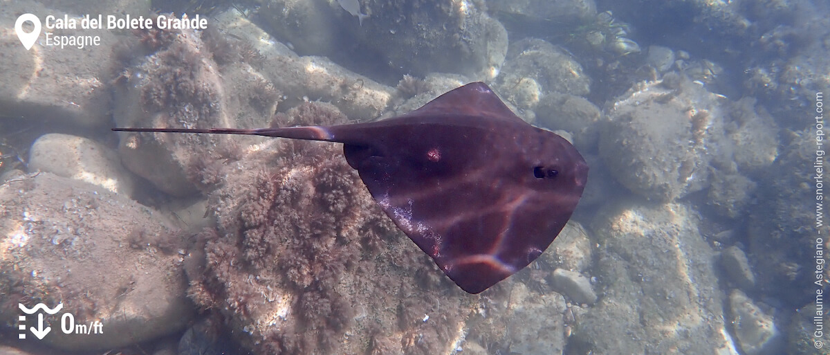 Snorkeling avec une raie pastenague violette à Cabo Tiñoso