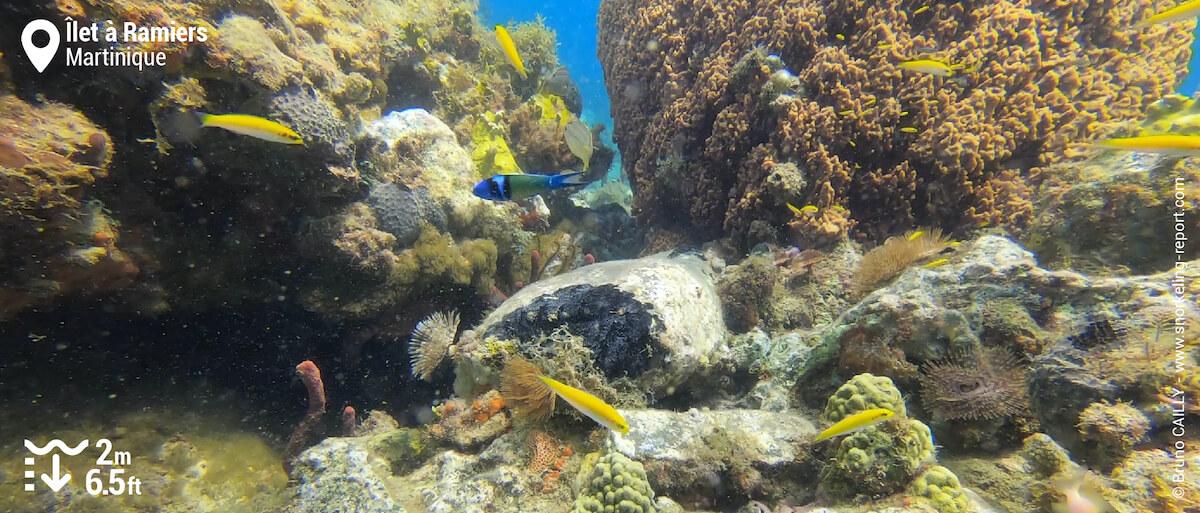 Récif corallien à l'Îlet à Ramiers
