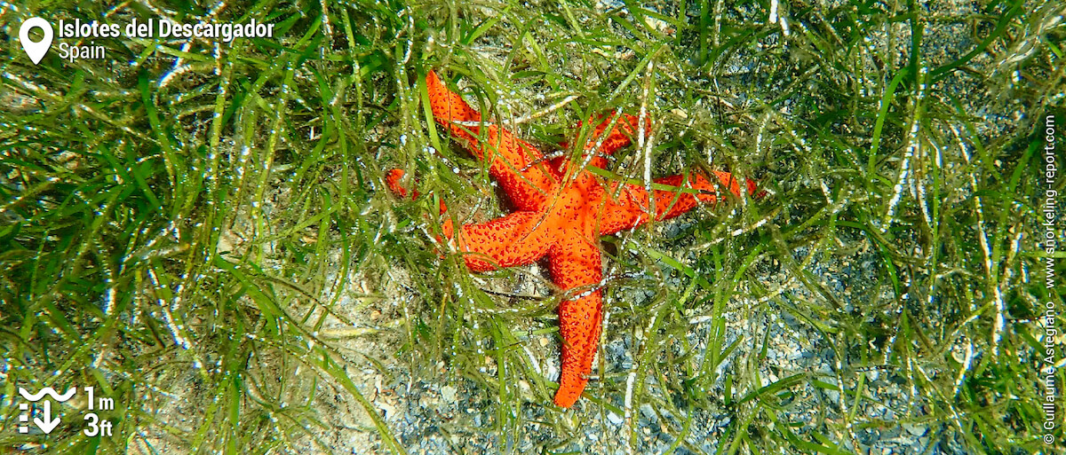 Red starfish in seagrass meadows at Cala Flores