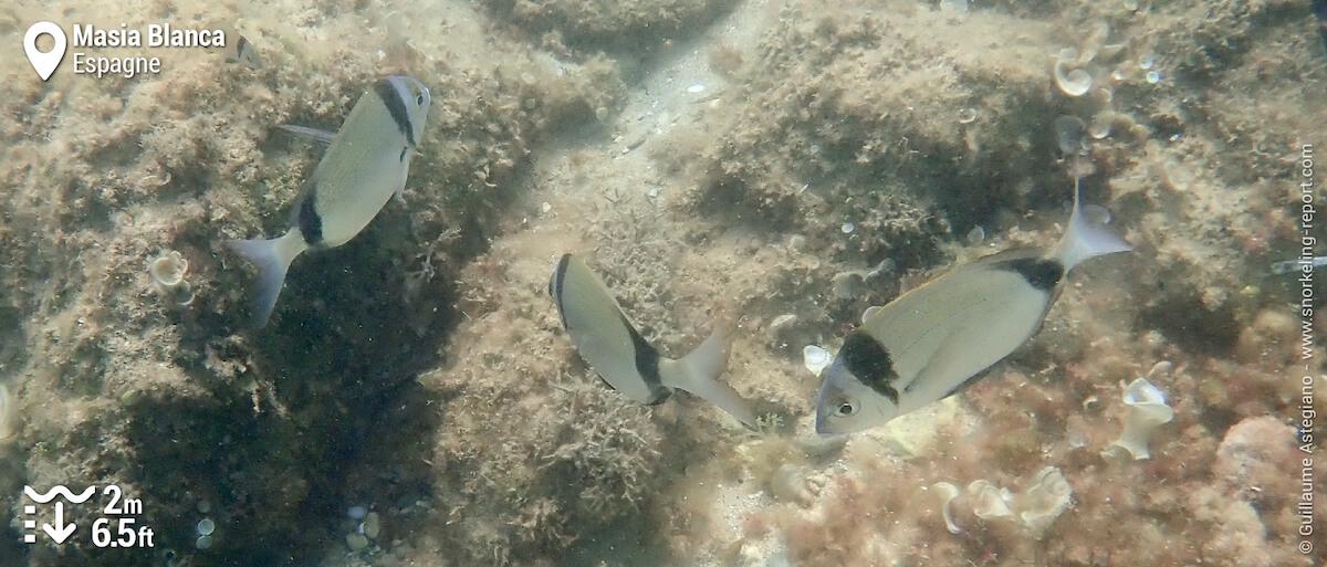 Sars à tête noire dans la Réserve Marine de Masía Blanca