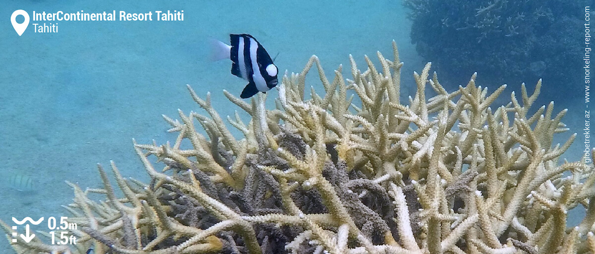 Branching coral and damselfish at InterContinental Resort Tahiti