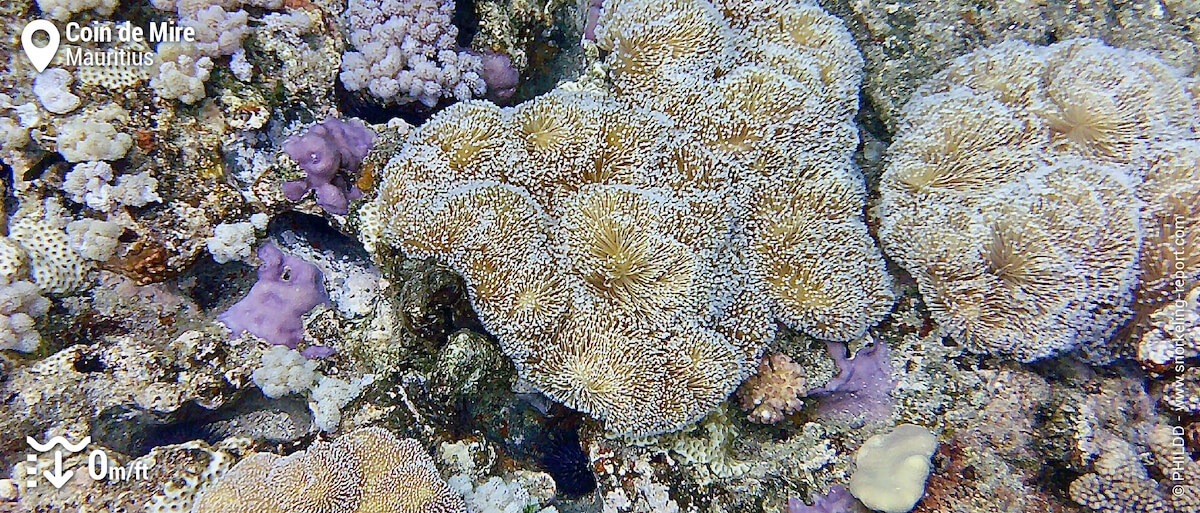 Soft coral at Coin de Mire reef