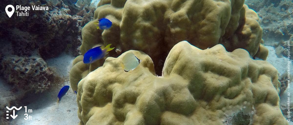 Coral and reef fish at Vaiava Beach, Tahiti