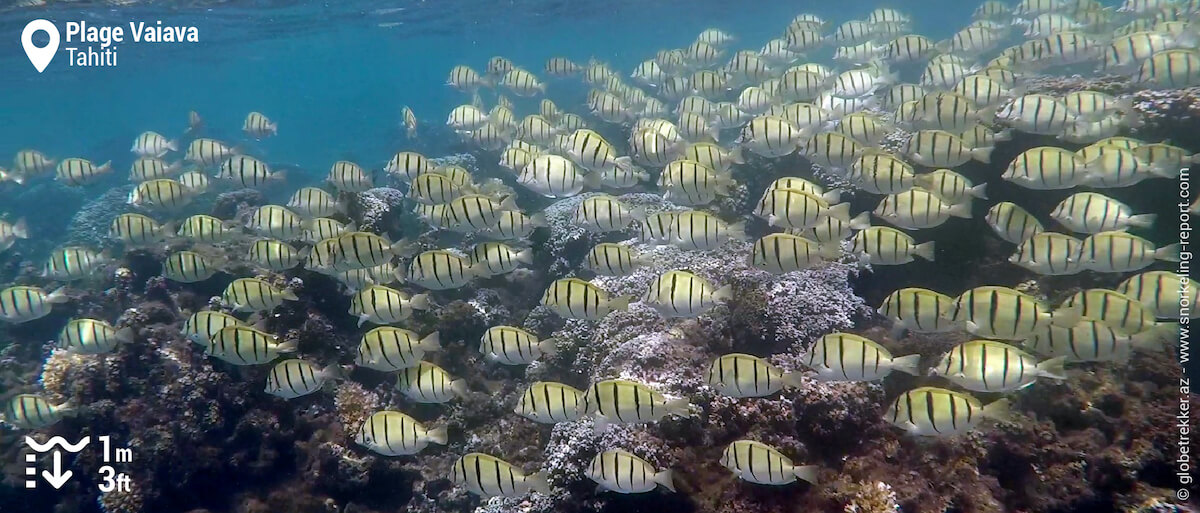 Shoal of convict surgeonfish at PK18