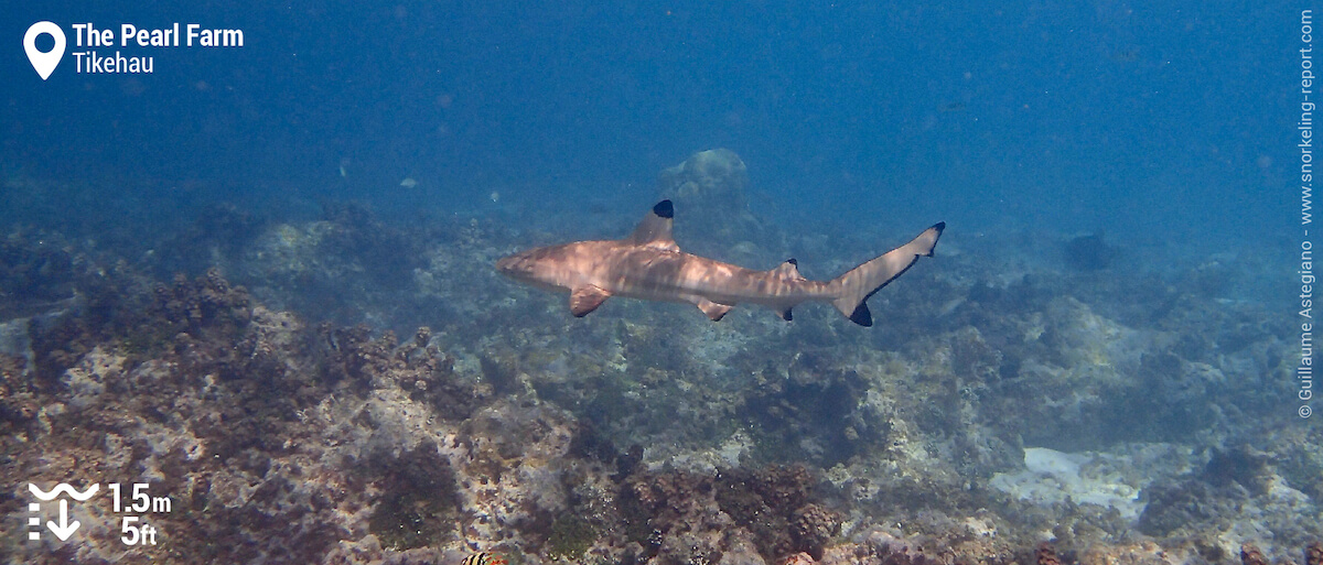 Blacktip shark at the Old Pearl Farm